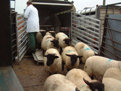 inpage-new-sheep-quarantine.jpg